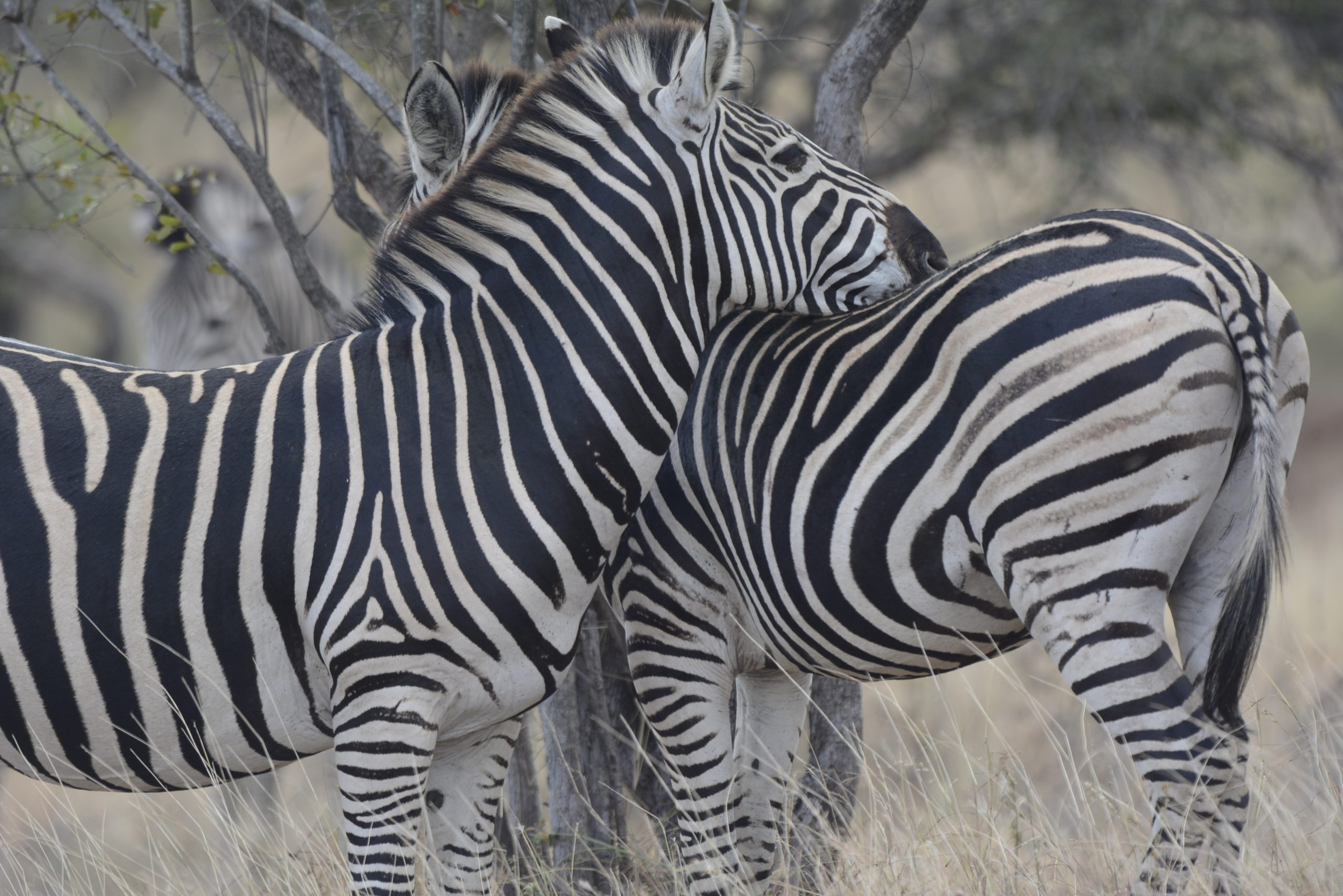 two zebras together