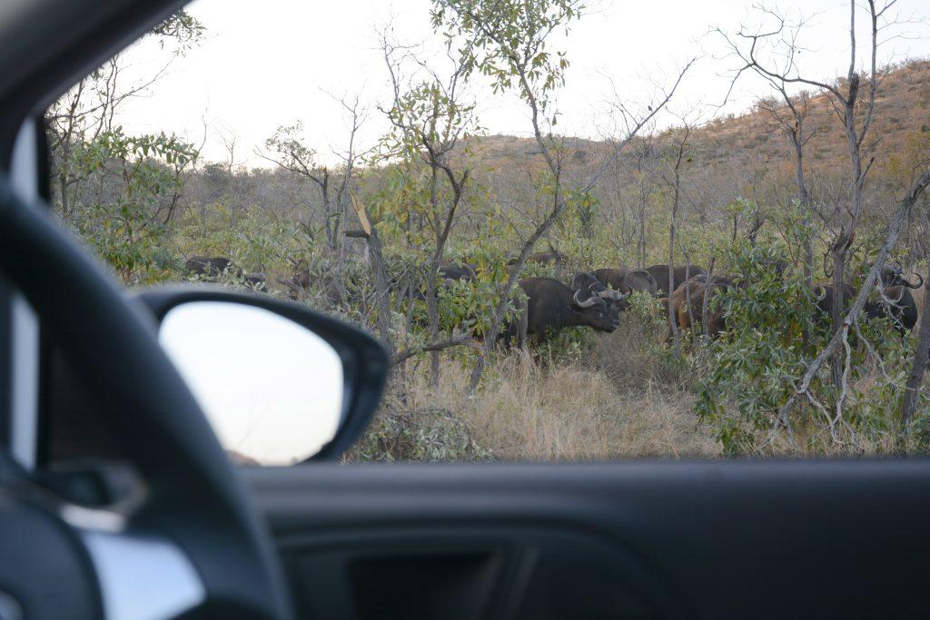 buffalo from car window