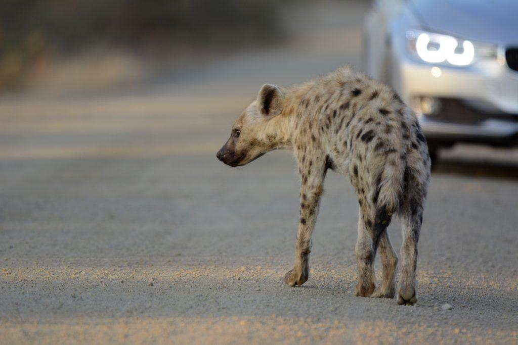 hyena crossing the road