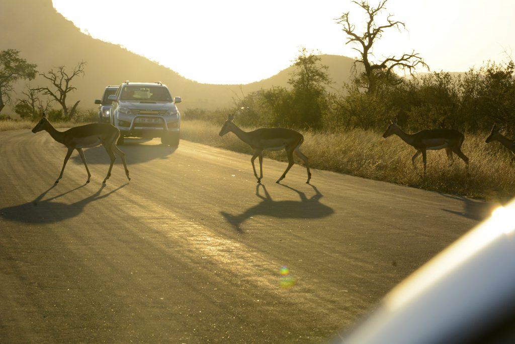 impala crossing the road