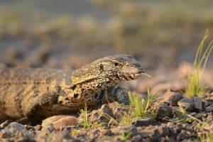 lizard crawling in south africa