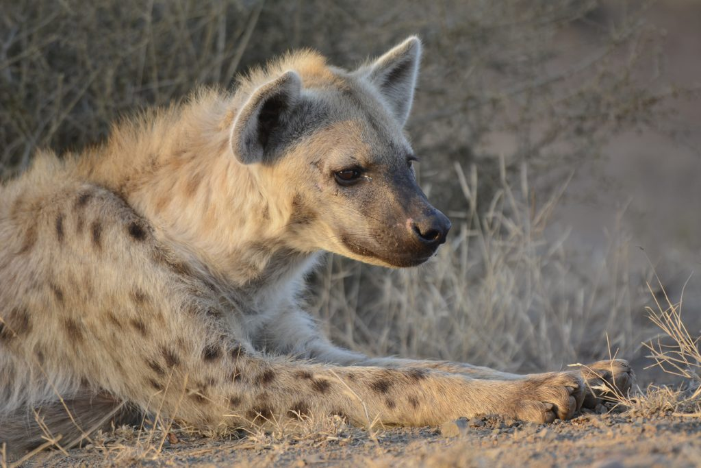 hyena sitting in south africa
