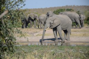 elephant drinking from watering hole