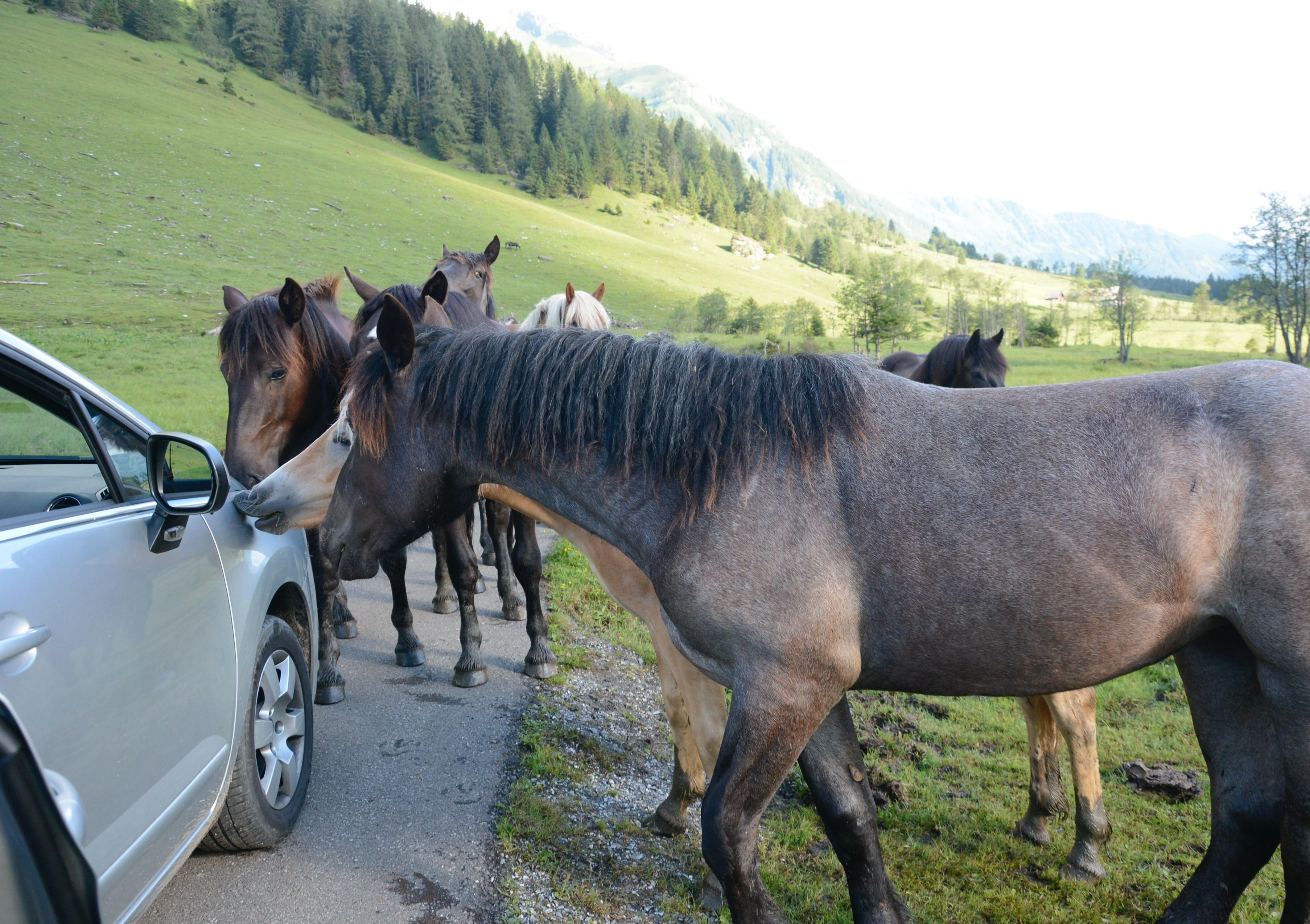 horses gathered around car