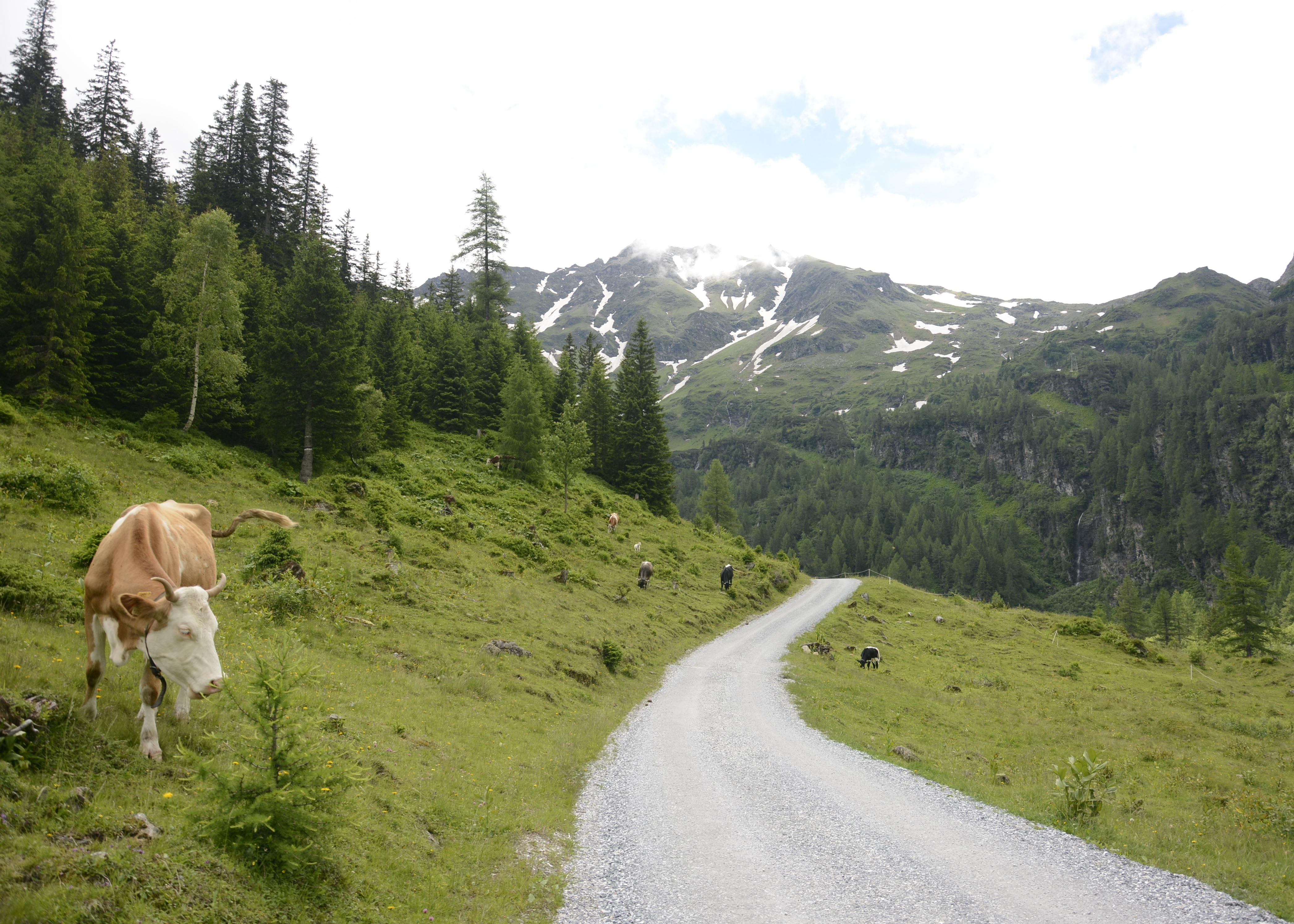 cow eats grass on mountain is austria