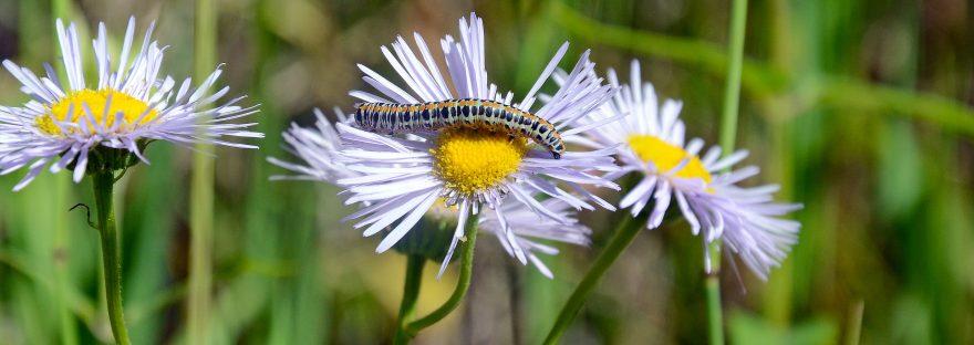 caterpillar crawling on a daisy